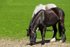 Brown horse grazing in the pasture Stock Photos
