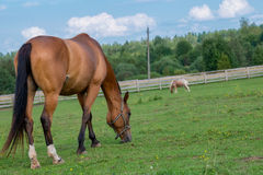 Brown horse grazing in pasture Royalty Free Stock Photos