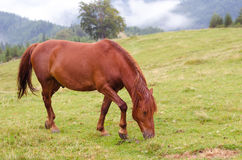 Brown horse grazing on a pasture in a mountain meadow. Stock Images
