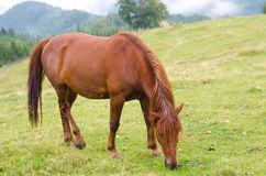 Brown horse grazing on a pasture in a mountain meadow. Royalty Free Stock Photos