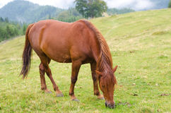 Brown horse grazing on a pasture in a mountain meadow. Stock Photos