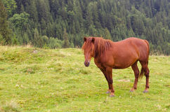 Brown horse grazing on a pasture in a mountain meadow. Royalty Free Stock Images