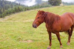 Brown horse grazing on a pasture in a mountain meadow. Royalty Free Stock Photography