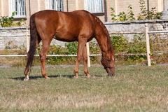 Brown horse grazing on the racetrack Royalty Free Stock Photos