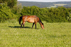 Brown horse is grazing in a spring meadow Royalty Free Stock Photo