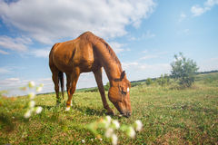 Brown horse grazing in summer pasture Royalty Free Stock Photo