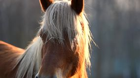 Brown horse on grazing at sunset. Czech Republic stock video footage