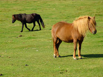 Brown Horse on the green Field Royalty Free Stock Photos