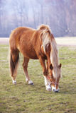 Brown horse on green field Royalty Free Stock Photos