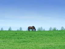 Brown horse on a green field Royalty Free Stock Photography