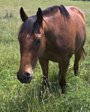 Brown horse in green field Royalty Free Stock Photography