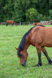 Brown horse on green field eating young grass Royalty Free Stock Photo