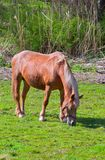 Brown horse in a green field of grass Royalty Free Stock Photos
