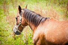 Brown Horse in a Green Field. Brown Horse in a green grass paddock Royalty Free Stock Image