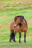 Brown Horse in a Green Field of Grass Stock Image