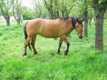 Brown horse in a green forest in summer day Royalty Free Stock Image