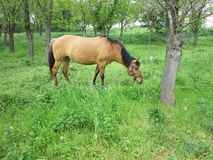 Brown horse in a green forest in summer day Royalty Free Stock Photography