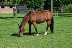 Brown horse on green grass. Eating Stock Photos