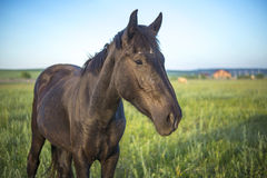 Brown horse in a green meadow close Royalty Free Stock Images