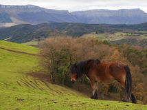 Brown horse in the green pastures. And mountains Royalty Free Stock Images