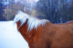 Brown Horse Haflinger in snow land. staring into Stock Images