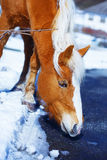 Brown Horse Haflinger in snowy, on the way. Stock Photos