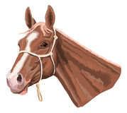Brown horse with halter. Brown horsehead with halter. Style looks like painted with felt pen royalty free illustration