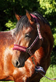 Brown horse with halter, close-up Royalty Free Stock Photo