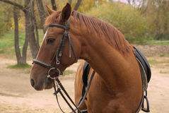 Brown horse in harness outdoor Stock Photography
