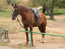 Brown horse in harness outdoor Royalty Free Stock Photography