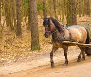 Brown horse in harness Royalty Free Stock Images