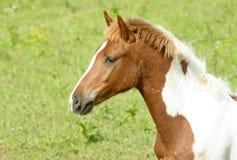 Brown horse head Royalty Free Stock Photos