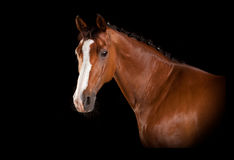 Brown horse head with blaze Royalty Free Stock Images