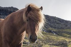 Brown horse head close up. Brown icelandic horse standing on a graze land with mountains behind, Iceland royalty free stock image