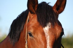 Brown horse head close up Royalty Free Stock Image