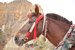The brown horse head Stock Photography