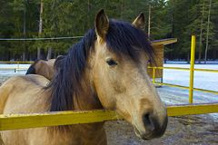 Brown horse. Head of a brown horse in the farm Royalty Free Stock Photos