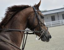 Brown Horse Head in Harness Stock Photography