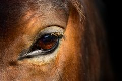 Brown horse head eyes. A closeup portrait of the face of a horse. Brown horse head, macro eyes. A closeup portrait of the face of a horse royalty free stock photography