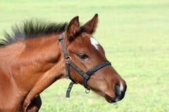 Brown horse head portrait Stock Photo