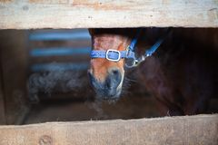 Brown horse head in a stall Stock Images