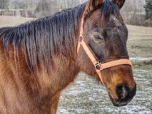 Brown horse head. Horse walks in farm. Brown horse head. Horse walks in the farm meadow or field winter fur wildlife warm up trot tired string strap stallion royalty free stock photos