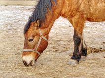 Brown horse head. Horse walks in farm royalty free stock image