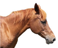 Brown horse head on white background. Brown farm horse head from profile on white background Royalty Free Stock Photography