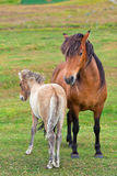 Brown Horse and Her Foal in a Green Field of Grass Stock Images