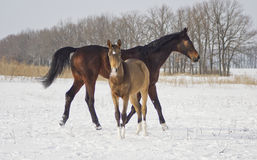 Brown horse with her foal walks in the snow. On a background bald black trees Stock Photo