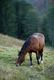 Brown horse on a hill pasture Stock Photos