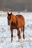 Brown horse. Horse on his  winter snow walk Royalty Free Stock Photography