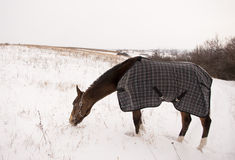 Brown horse in a horse-cloth checkered gaze on the snowy field. With the dry grass Royalty Free Stock Photo