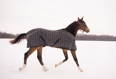Brown horse in a horse-cloth checkered running Royalty Free Stock Photo